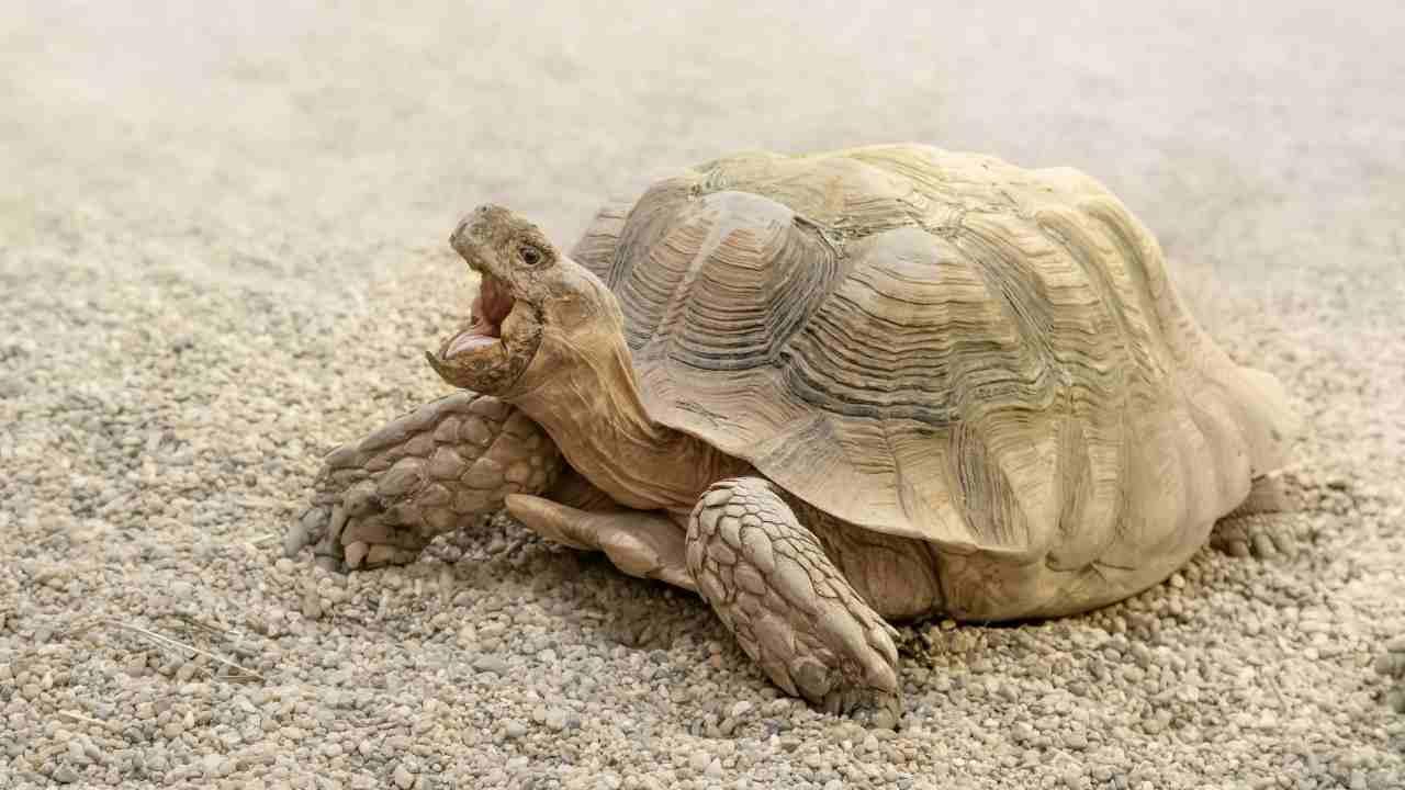 ¿Cuál es el peso ideal de la tortuga?  La opinión de los expertos