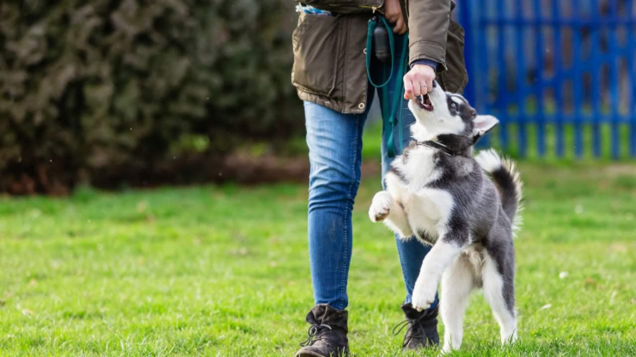 Enseñar a tu perro a hacer slalom entre las piernas: cómo hacerlo de la manera más fácil
