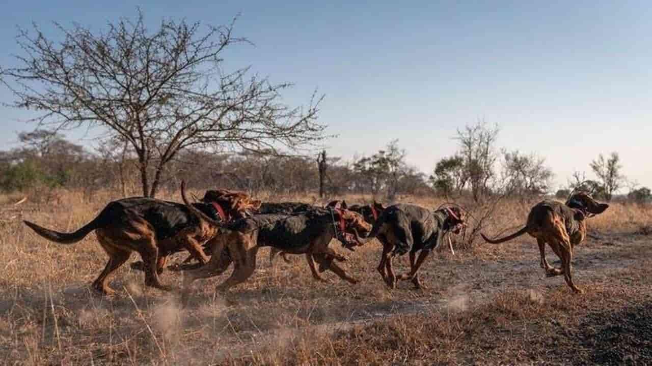 Perros entrenados para detener la caza furtiva (FOTO)